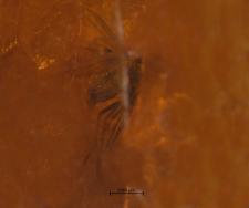 Diptera (Empidoidea)