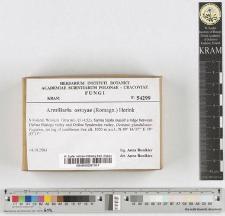 Armillaria ostoyae (Romagn.) Herink