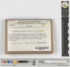 Clitocybe gibba (Pers.: Fr.) Kummer