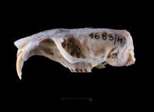 Thomomys umbrinus