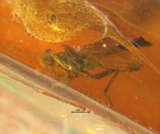 Hybotidae (Tachydromiinae)