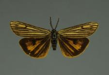 Spiris striata (Linnaeus, 1758)