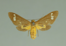 Dysauxes ancilla (Linnaeus, 1767)
