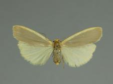 Eilema complana (Linnaeus, 1758)