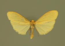 Eilema sororcula (Hufnagel, 1766)