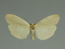 Eilema griseola (Hübner, 1803)