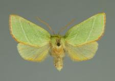 Pseudoips prasinana (Linnaeus, 1758)