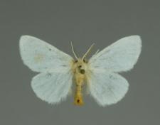 Euproctis similis (Fuessly, 1775)