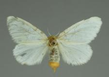 Euproctis chrysorrhoea (Linnaeus, 1758)