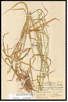 Elymus repens(L.) Gould
