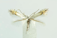 Phyllonorycter xenia M. Hering , 1936