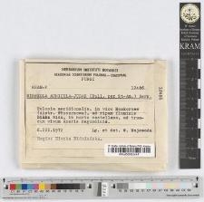 Hirneola auricula-judae (Bull. per St-Am.) Berk.