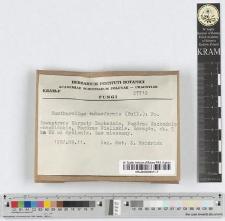 Catharellus tubaeformis (Bull.): Fr.