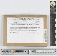 Cantharellula umbonata (J. F. Gmel.: Fr.) Singer