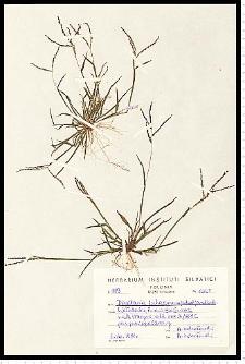Digitaria ischaemum (Schreb.) H. L. Mühl.