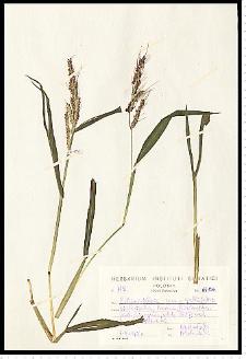 Echinochloa crus-galli (L.) P. Beauv.