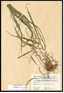 Hordelymus europaeus (L.) Jess. ex Harz