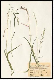Brachypodium pinnatum (L.) P. Beauv.