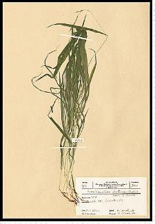 Brachypodium silvaticum (Huds.) Roem. & Schult.