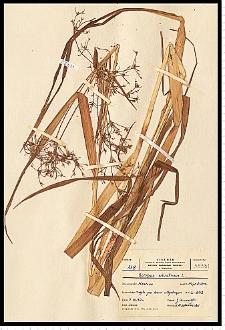 Scirpus sylvaticus L.