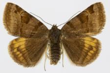 Euclidia glyphica