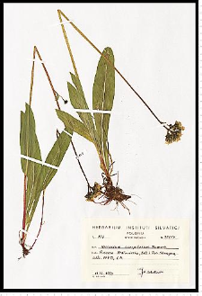 Hieracium caespitosum Dumort.