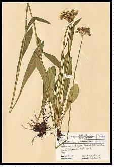 Hieracium cymosum L.