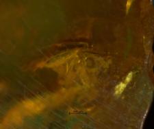 Scydmaenidae