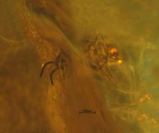 Scatopsidae