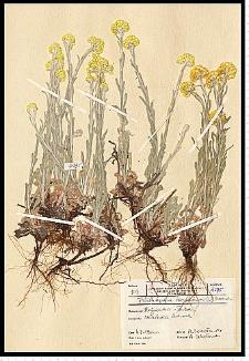 Helichrysum arenarium (L.) Moench