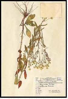Erigeron annuus (L.) Pers.
