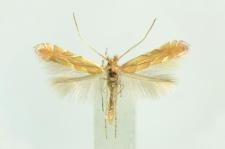 Phyllonorycter messaniella (Zeller, 1846)
