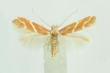 Phyllonorycter millierella (Staudinger, 1871)