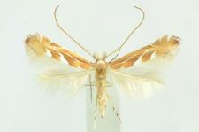Phyllonorycter troodi Deschka, 1974