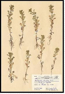 Chamomilla suaveolens (Pursh) Rydb.