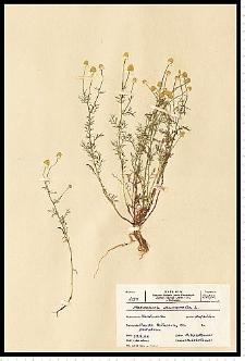 Chamomilla recutita (L.) Rauschert