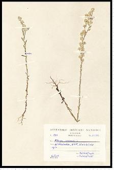 Filago arvensis L.