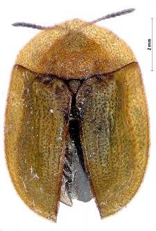 Cassida rubiginosa O.F. Müller, 1776