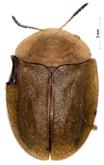 Cassida viridis Linnaeus, 1758