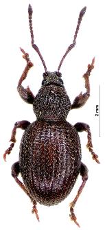 Otiorhynchus ovatus (Linnaeus, 1758)