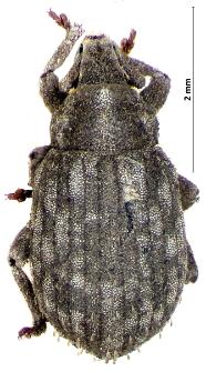 Trachyphloeus bifoevolatus (Beck 1817)