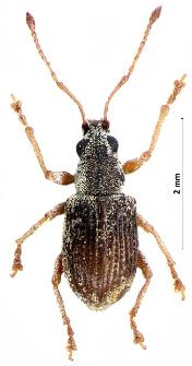 Pseudomyllocerus sinuatus (Fabricius, 1801)