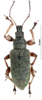 Phyllobius glaucus (I.A. Scopoli, 1763)