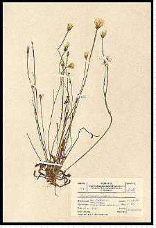 Hypochoeris glabra L.