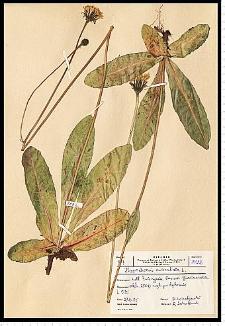 Hypochoeris maculata L.