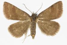 Phytometra viridaria