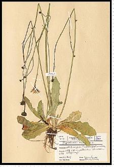 Hypochoeris radicata L.