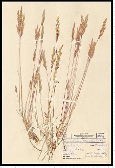 Corynephorus canescens (L.) P. Beauv.