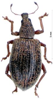 Polydrusus mollis (H. Strøm, 1768)