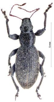 Brachyderes incanus (Linnaeus, 1758)